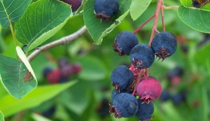 Guide to Juneberries
