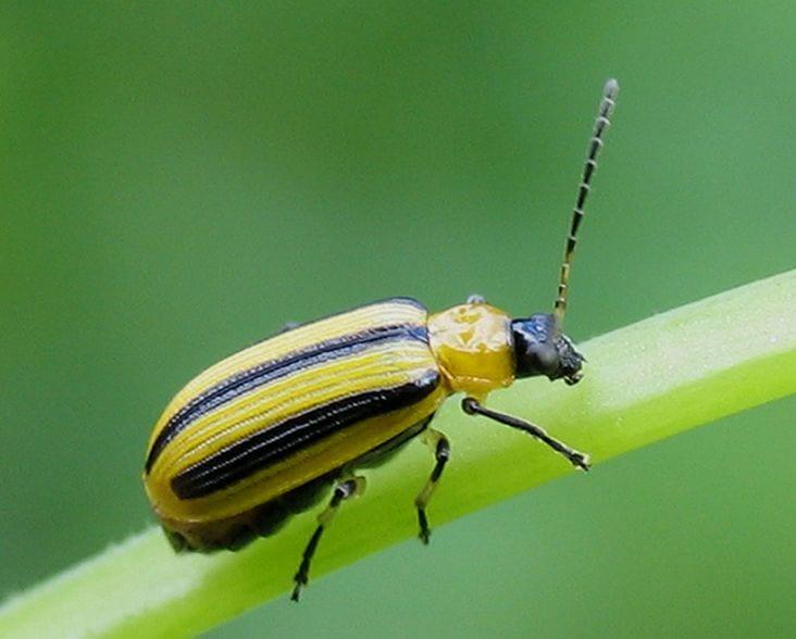 Stop cucumber beetles in your garden