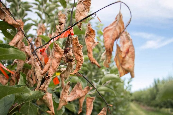 Fire Blight: Still an Orchard's Enemy