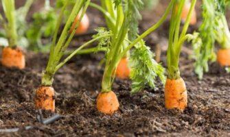 Weeds in Carrots