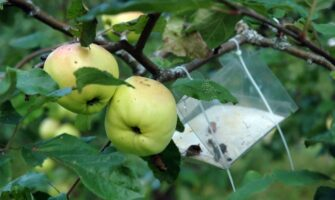 Insects in Apple Orchards