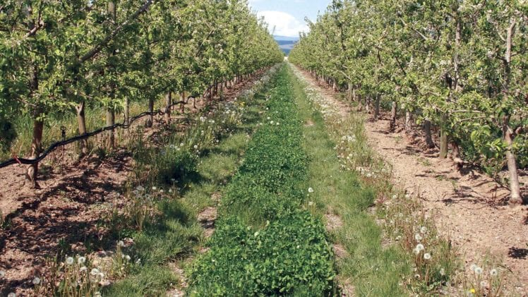 Weeds in Apple Orchards