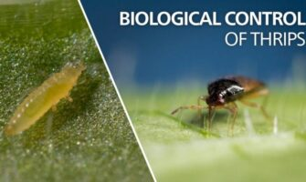 Thrips, Aphids and Spider Mites