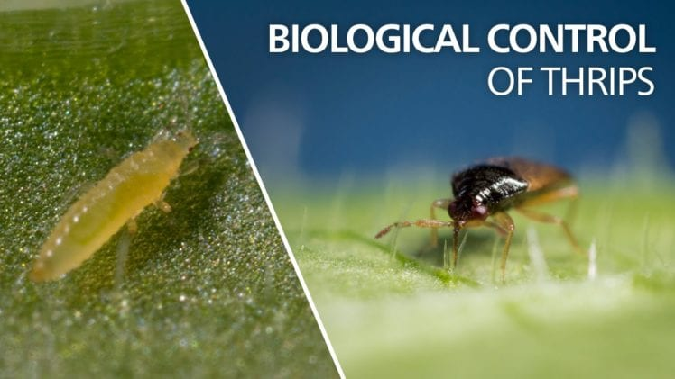 Thrips, Aphids and Spider Mites…Oh My! - Growing Magazine