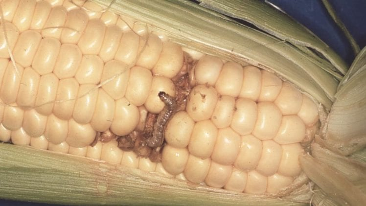 Insects in Sweet Corn