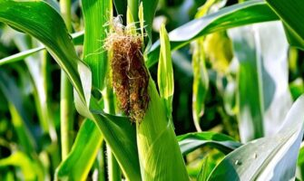 How to Select the Best Sweet Corn Variety for Production