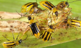 3 Corn Insects to Watch Out For