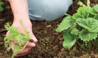6 Strawberry Weeds To Look Out For