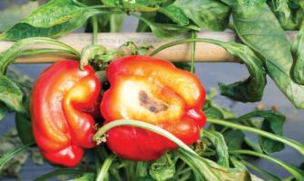 Resisting Rot: Ways to Prevent Anthracnose