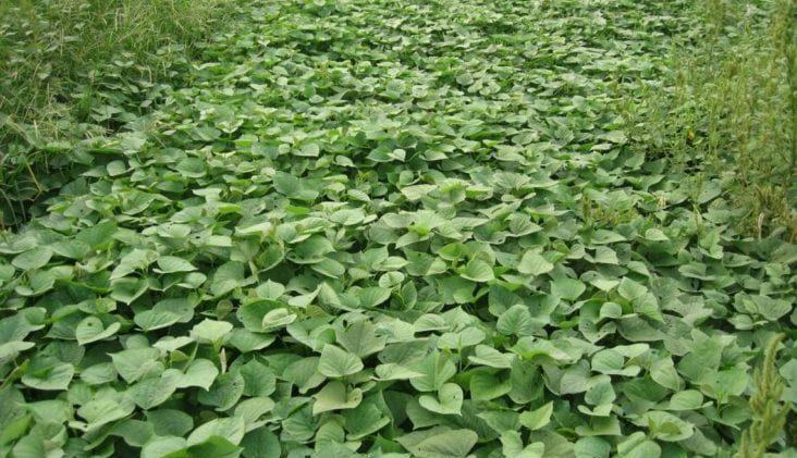 Sweet Potato Weeds
