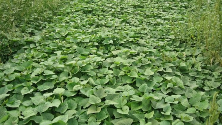 Sweet Potato Weeds