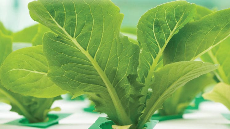 4 Steps to Cultivate Indoor Lettuce