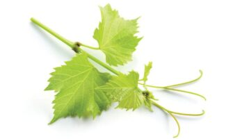 Two Grape Insects to Look Out For