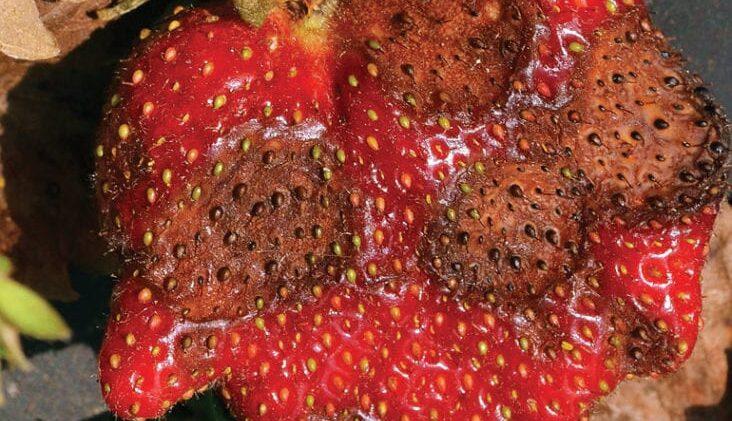 Strawberry Anthracnose