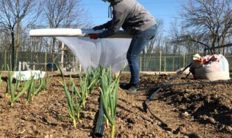 Use Floating Row Cover to Protect Your Leeks, Onions or Garlic Against Leek Moth