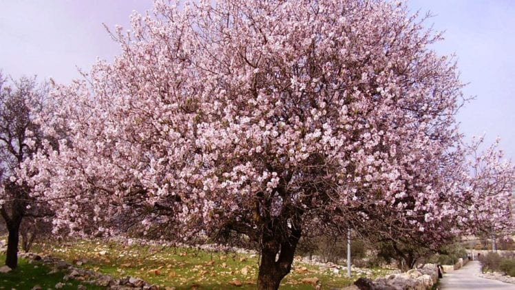 How to Properly Grow Almond Trees