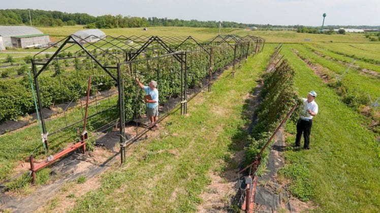 This Blackberry System May Really Prove Useful for the Southeast Growers