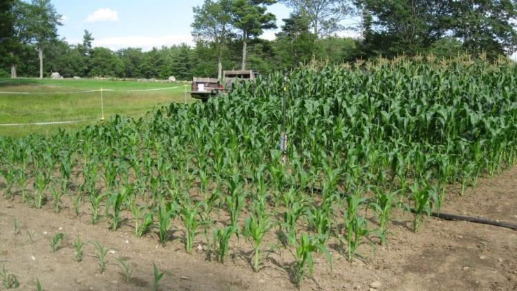 Grow Corn Varieties
