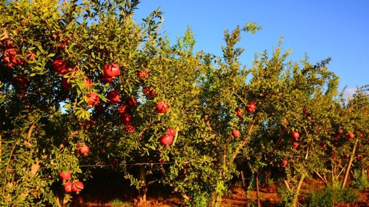 Have You Ever Thought about Growing a Pomegranate Tree?