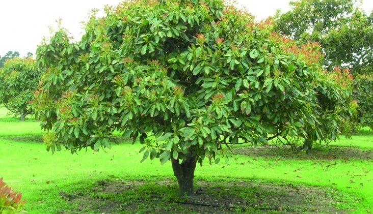 Growing Your Own Avocado Tree