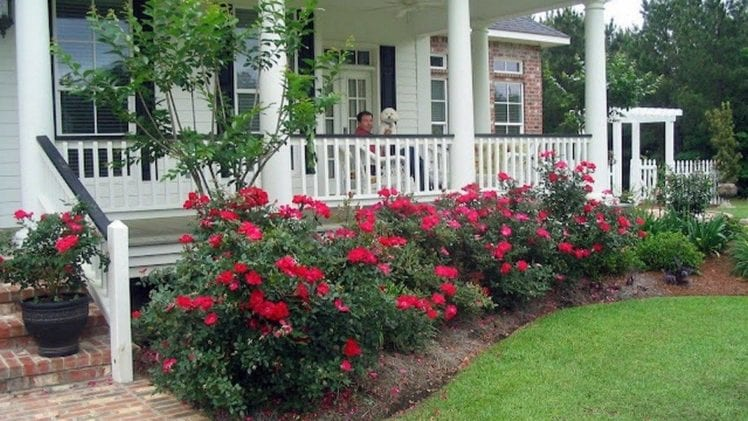 How to Grow Roses?