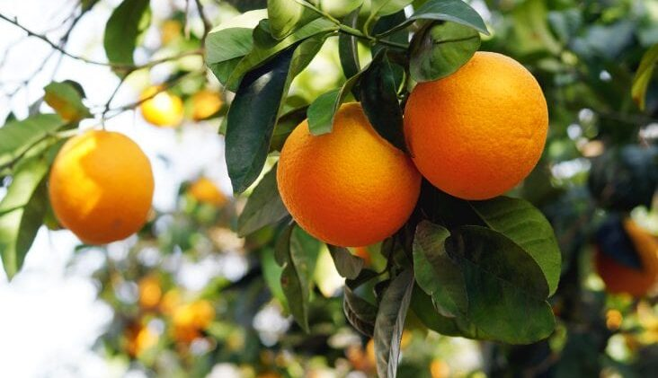 Learn How To Grow Orange Trees In Containers At Home